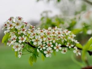 Birnbaum für Bienen