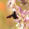 Salbei für Bienen